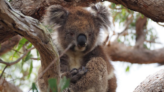 Koalas in the Park