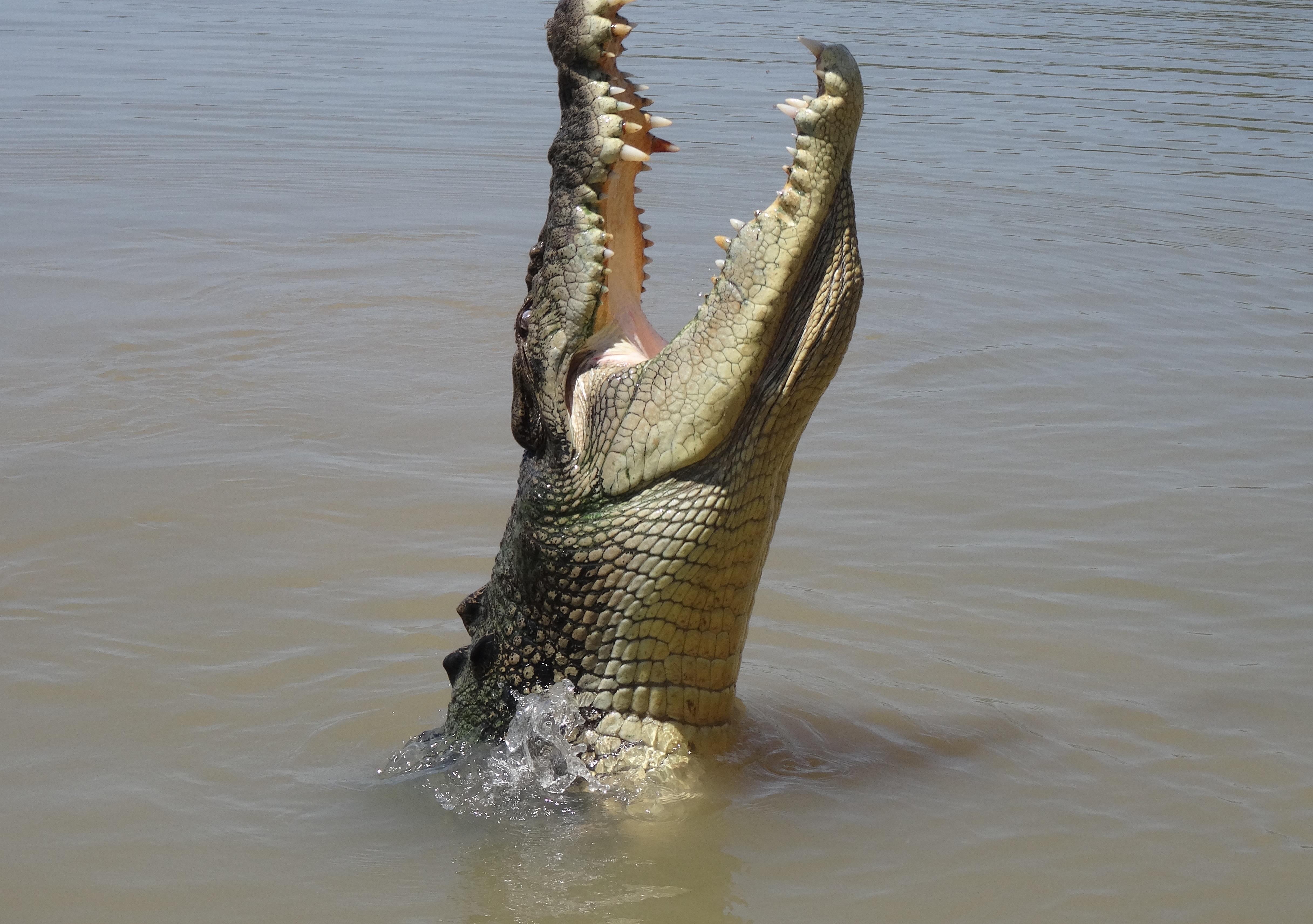 Large Saltwater croc