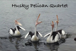 Pelicans sing for their meal