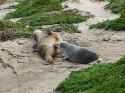 Australia Fur Seals