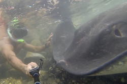 150kg+ Smooth Stingray