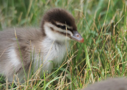 Young Wood duck