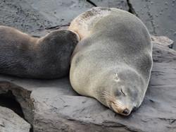 Australian Fur Seals