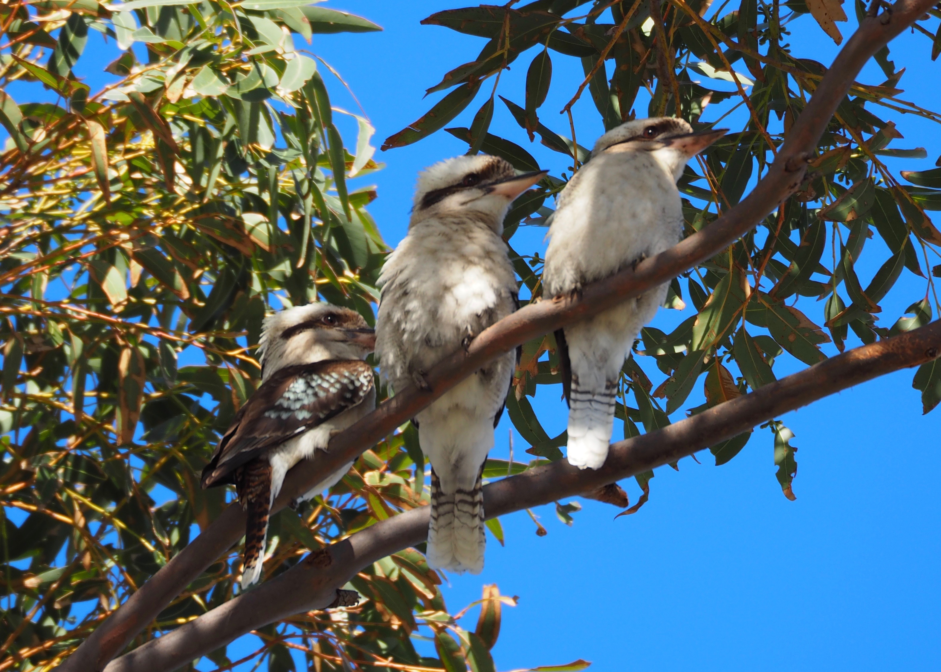 Kookaburras sing in the old Gumtree