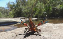 Freshwater Yabby
