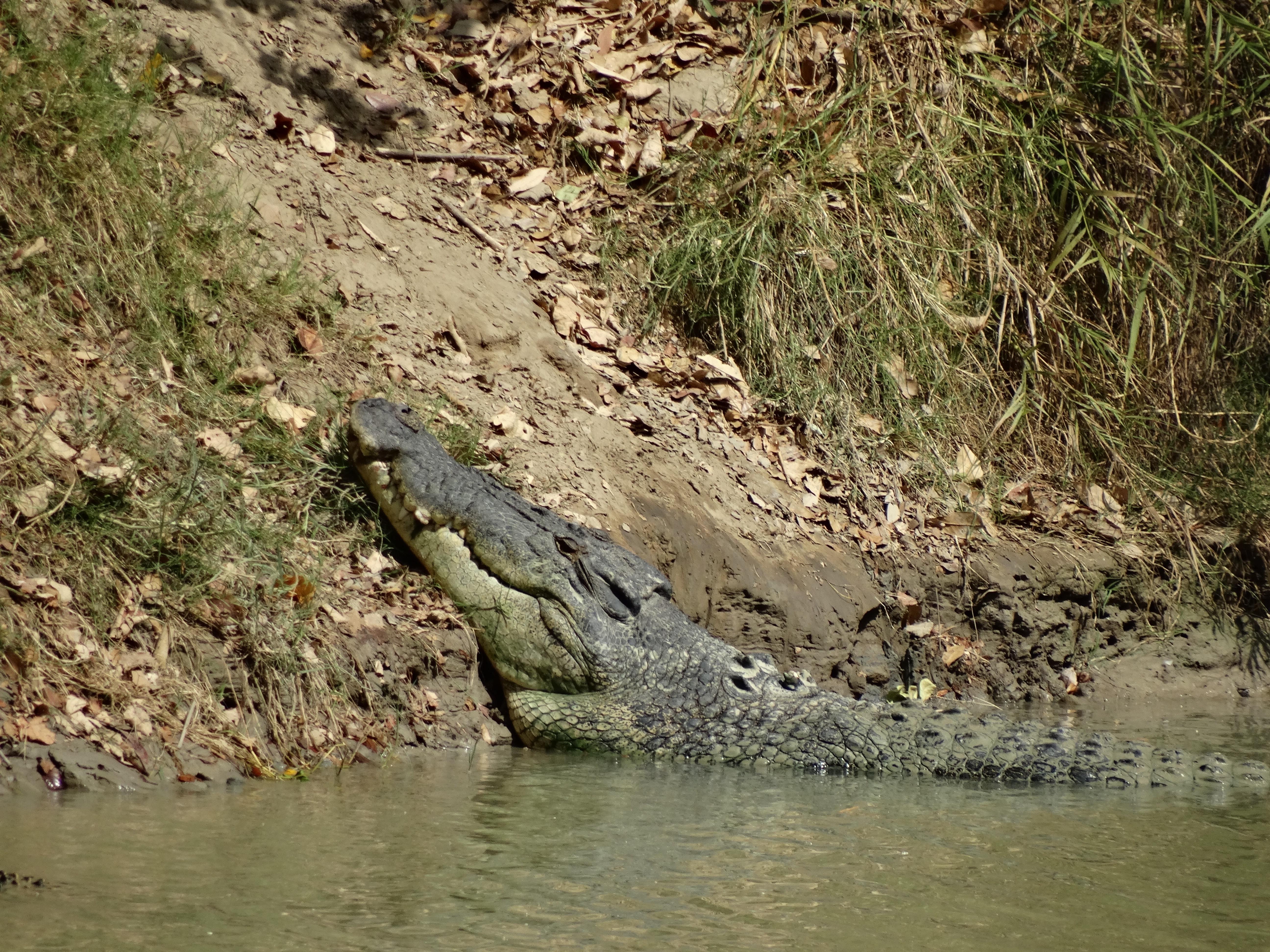 Massive saltwater croc
