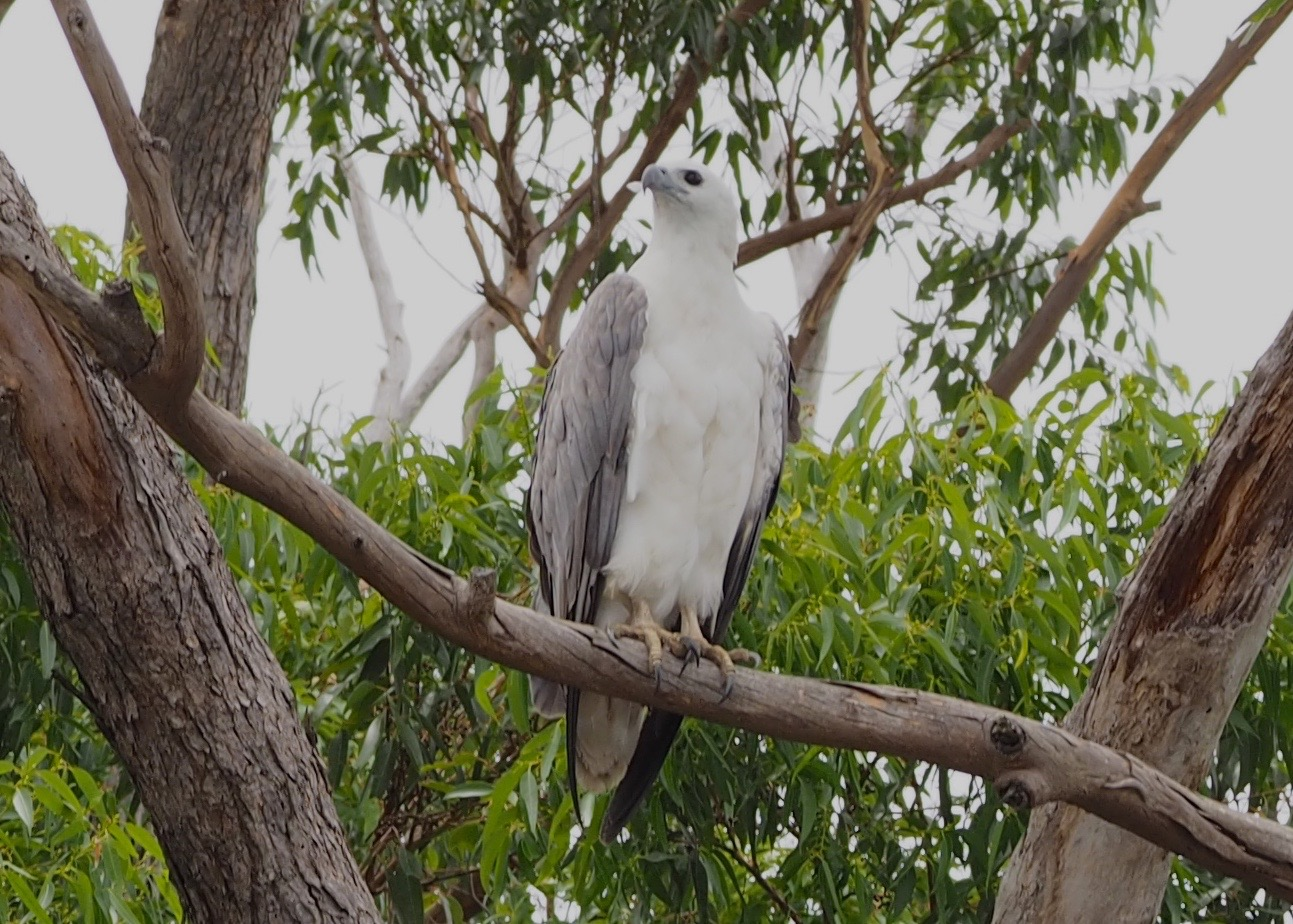 Whited Bellied Sea Eagle