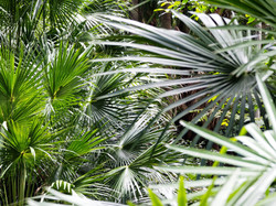 Native Palms