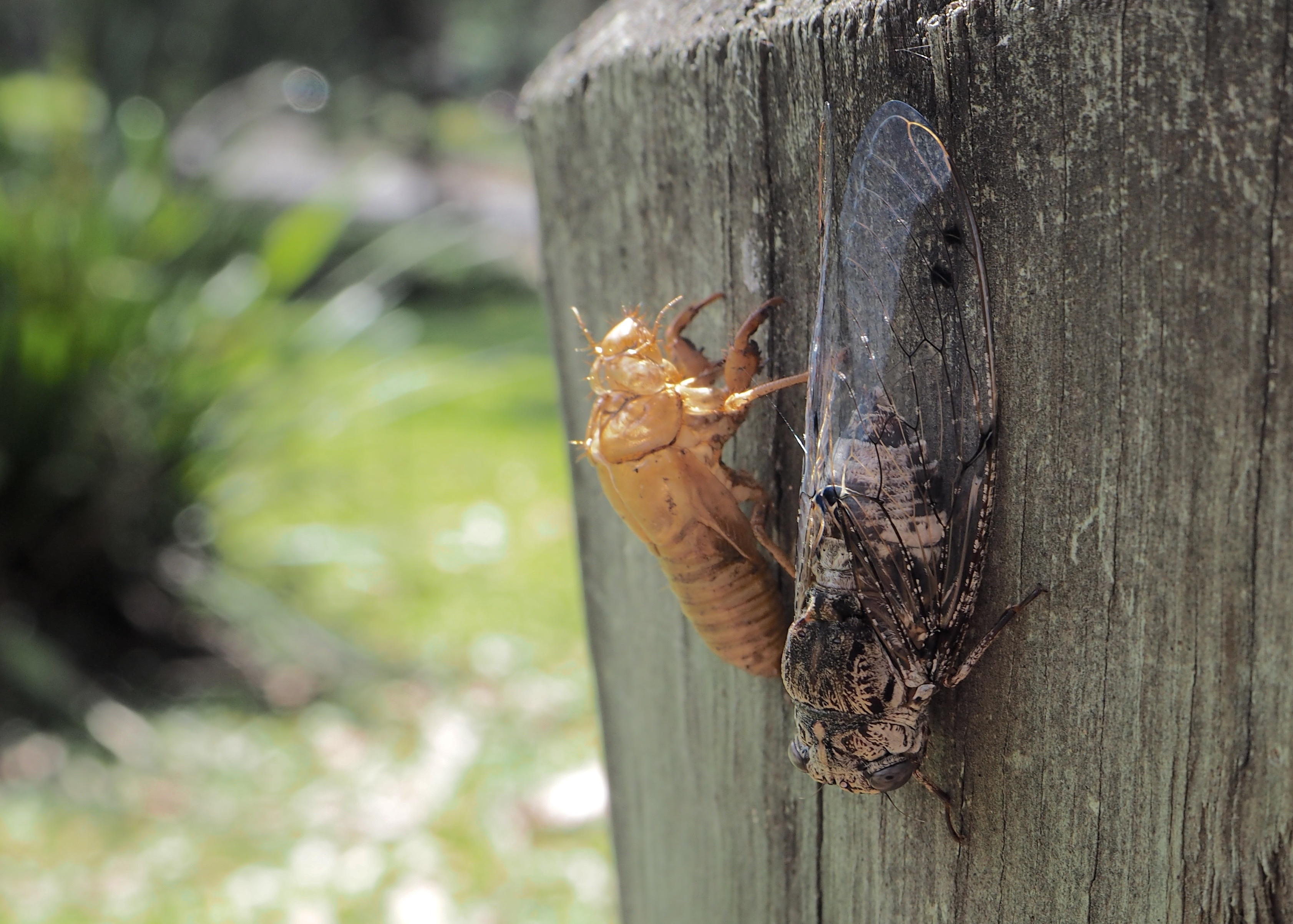 Newley hatched Cicada