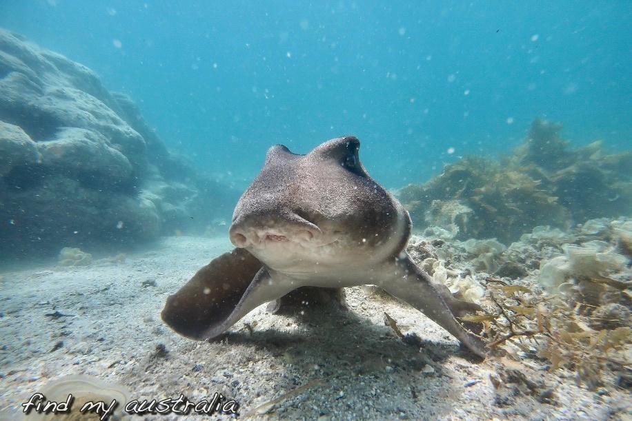 Crested Horn Shark
