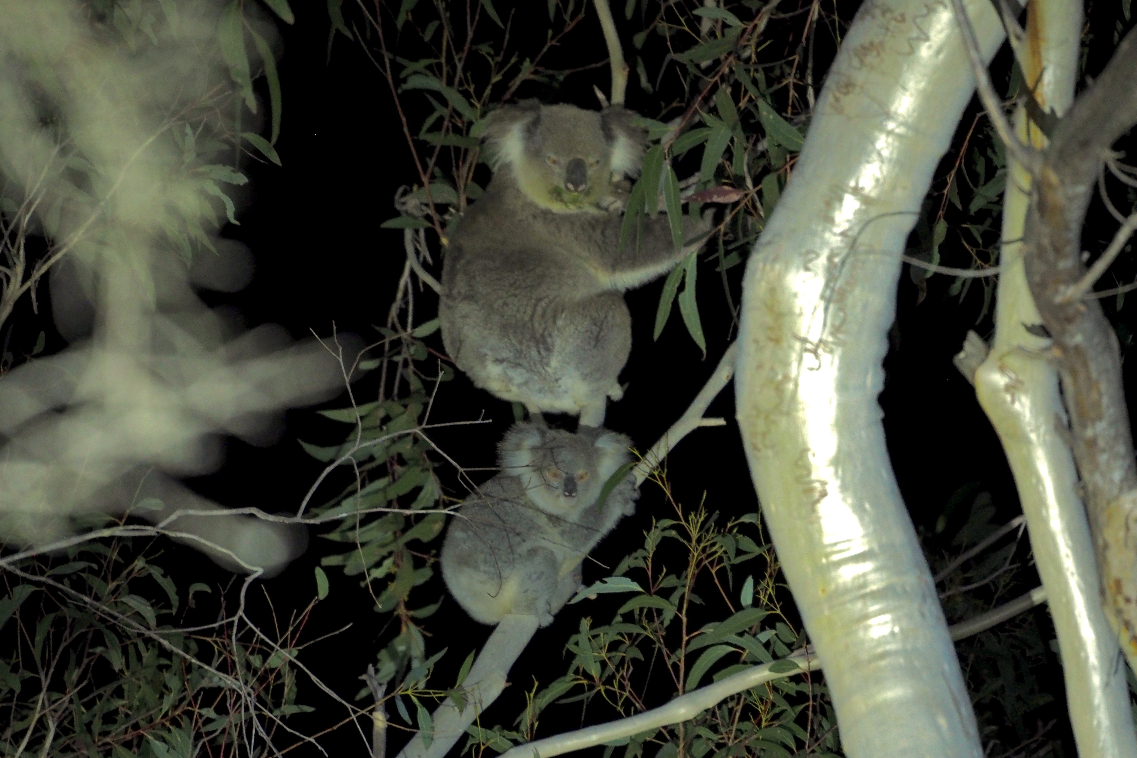 Koala and Joey