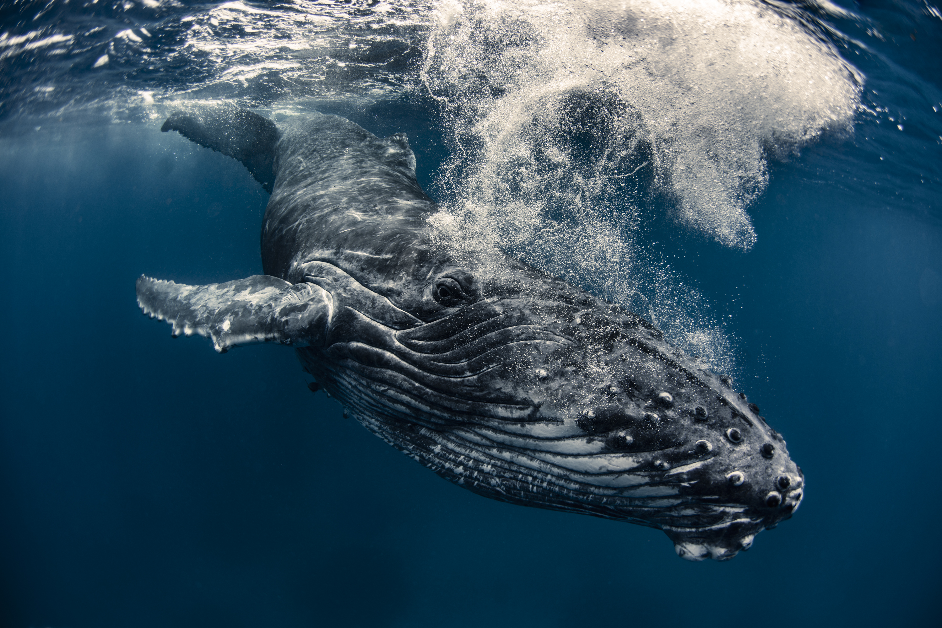 Diving with Humpbacks