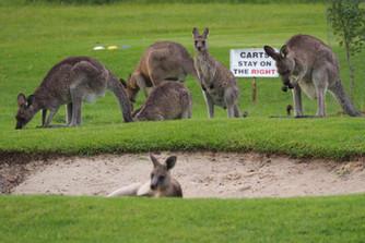 Kangaroo Golf