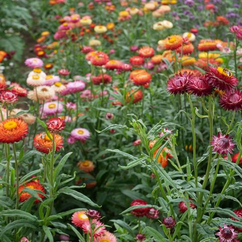 Blomstereng.jpg