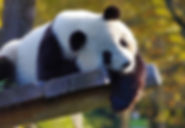 panda-3875289_1920.jpg