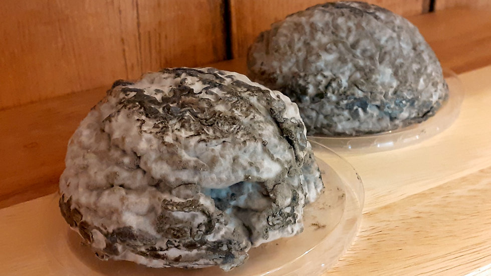 blue brain cheese blau's hirni swiss jumi cheese braincheese on a wooden shelf smelly smelliest