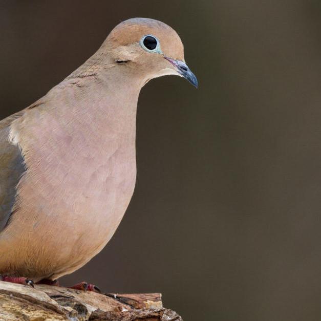 Dove Season 2019