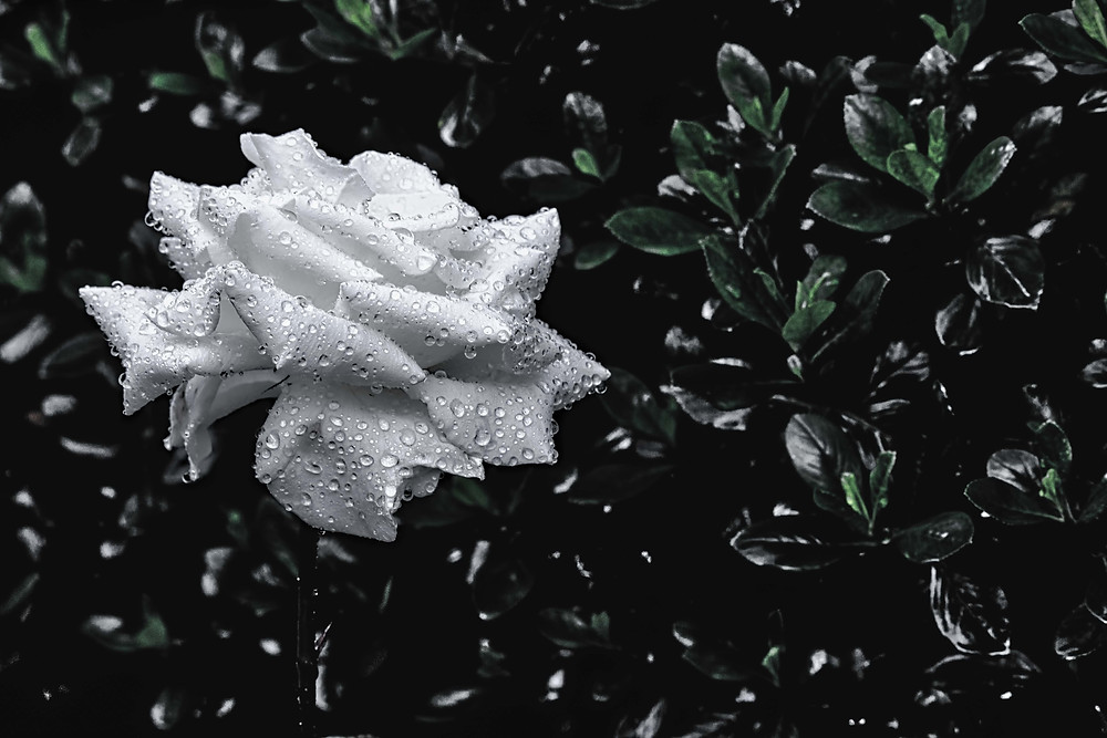 white rose covered in rain drops