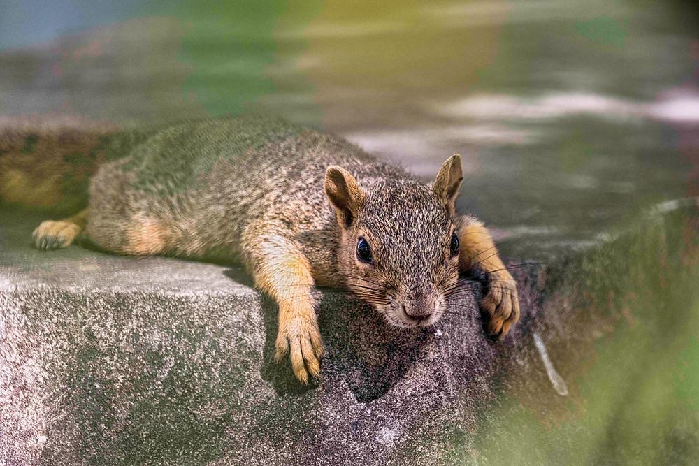 worn out squirrel