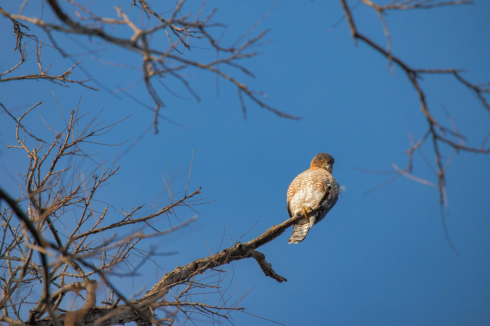 Red shouldered hawk looking down from its perch