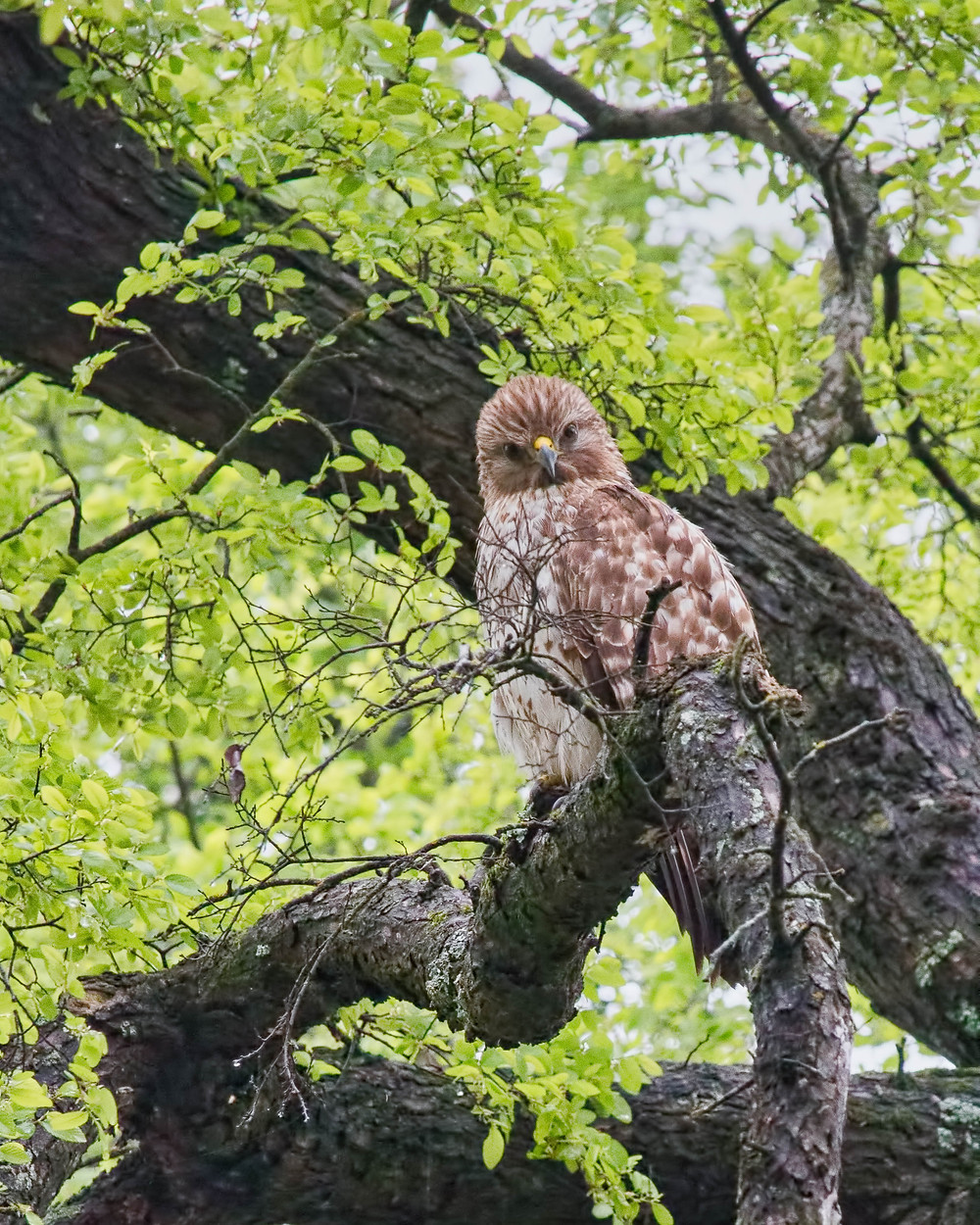 Female red shouldered hawk watching