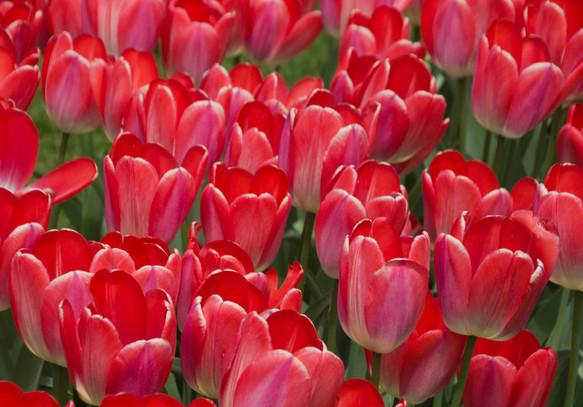 Boston Common Tulips