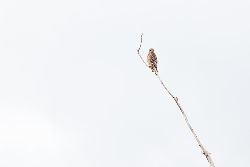 Red Shouldered Hawk on a bare branch