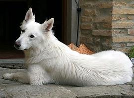 Abby White-Swiss-Shepherd Natalie's dog.jpeg