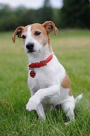 Daughtry russell-terrier bum leg Natalie's dog.jpeg