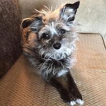 Goliath Chipoo-half Chihuahua, half toy poodle Natalie's dog.jpeg
