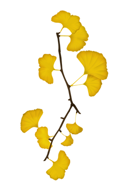 ginkgo-2082610_1920.png