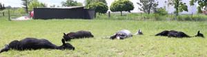 Alpaki podczas opalania się