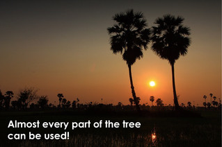 Thai palm tree (ต้นตาล)