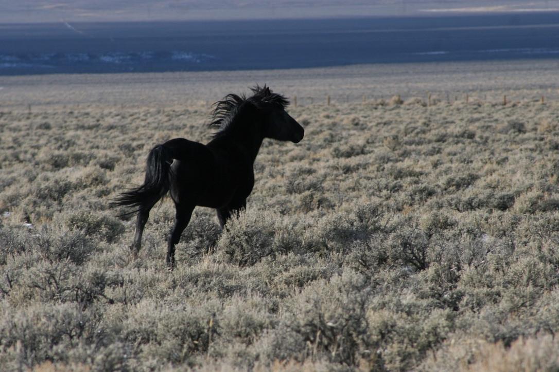 Black Mustang No. 1