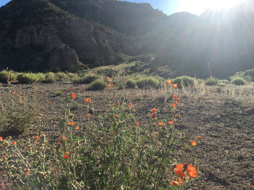 Desert Mallow at the Canyon