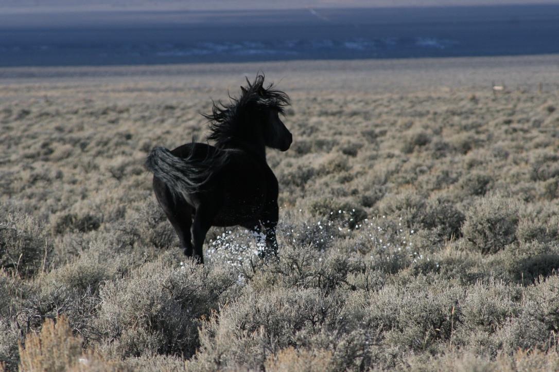 Black Mustang No. 3