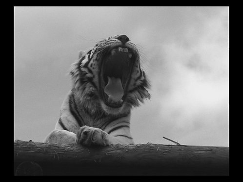 TIGER PHOTOGRAPHIC PRINT