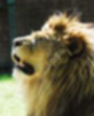 Muskham Lion WS.jpg
