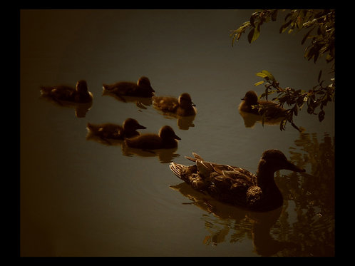 DUCK & DUCKLING PHOTOGRAPHIC PRINT