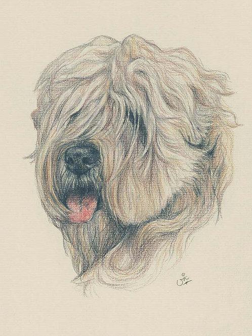 Wheaten Terrier Original drawing