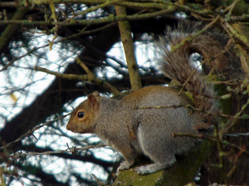 'Mr Nutkin' Squirrel Pastel Workshop