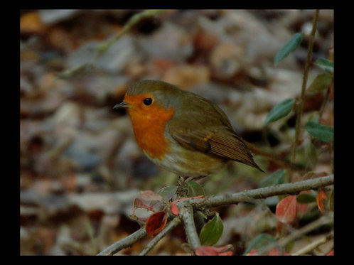 ROBIN PHOTOGRAPHIC PRINT