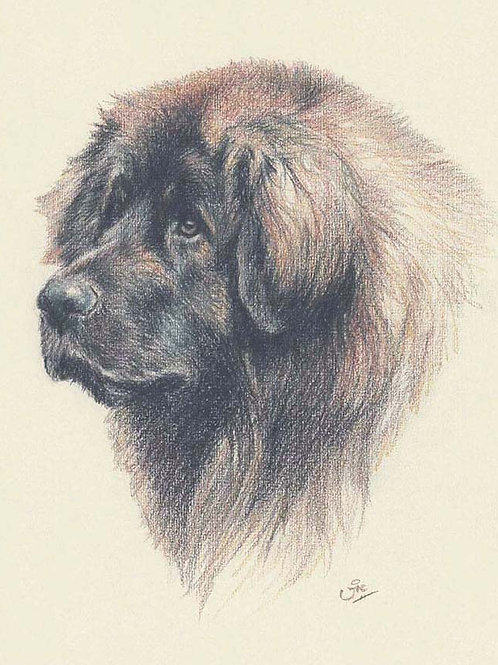 Leonberger Original drawing