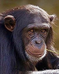 Chimp Ref.jpg