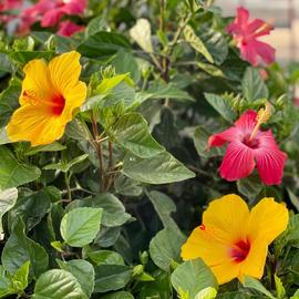 $14.99 Tropical Hibiscus