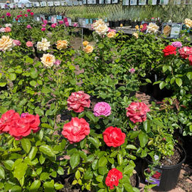 25% Off Roses