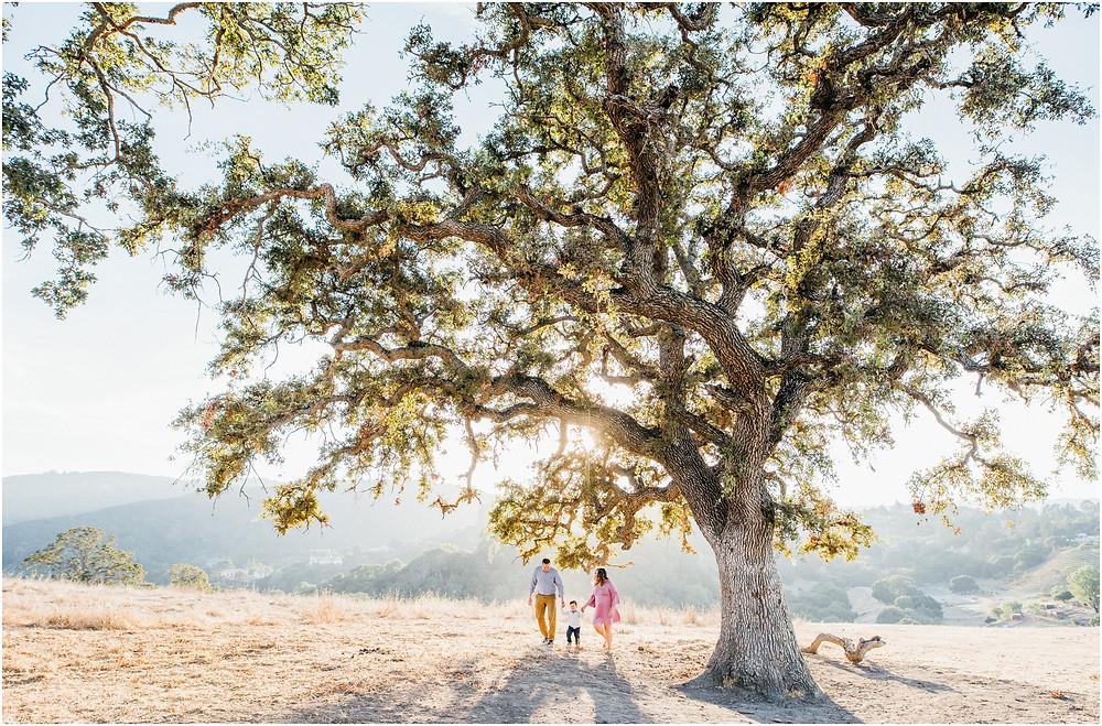 Wide angle shot of oak tree in San Jose, Ca