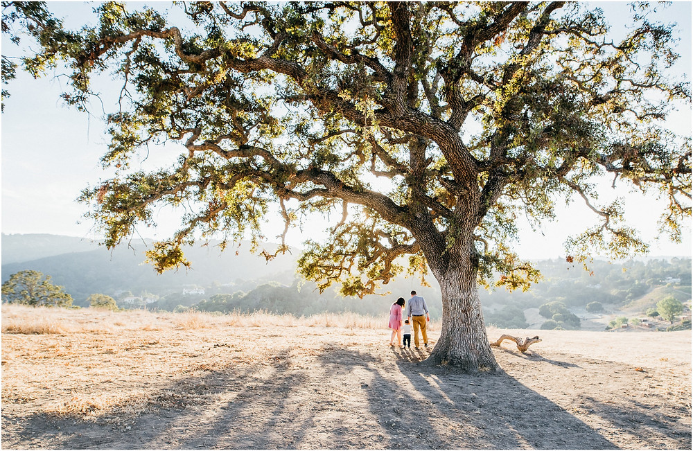 Wide shot of family walking under an oak tree in San Jose, Ca for family photos