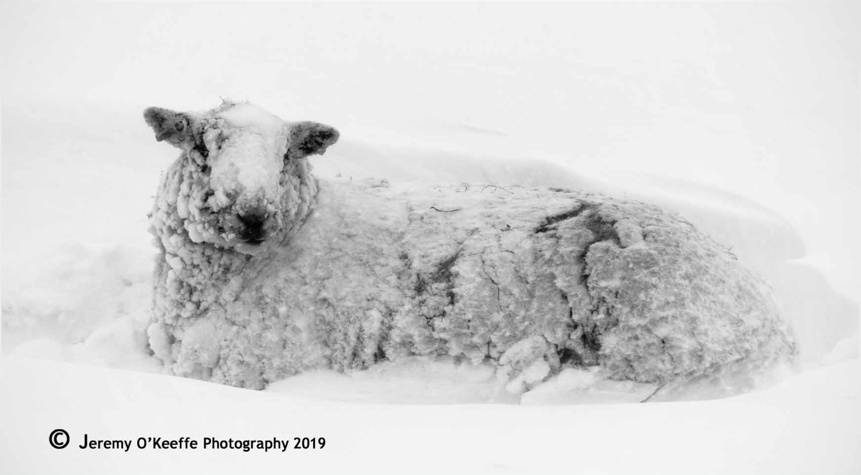 Sheep in deep snow