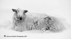Sheep in deep snow
